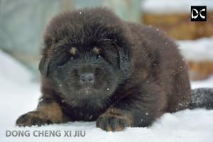 тибетский мастиф, китайский тибетский мастиф, питомник мастифов, тибет, красивый тибет