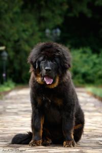 тибетский мастиф, щенок тибетского мастифа, питомник тибетских мастифов, китайский тибетский мастиф, мастиф, тибет, черно-подпалый тибетский мастиф